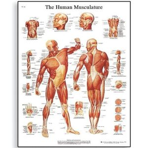 Glossy Paper Human Muscle poster